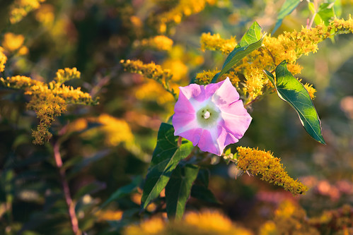 morningglory goldenrod flowers wildflowers sunrise sunshine yellow pink pentax pentaxk1 k1 flora fall autumn ipomoea