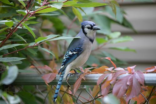 My personal friendly Blue Jay