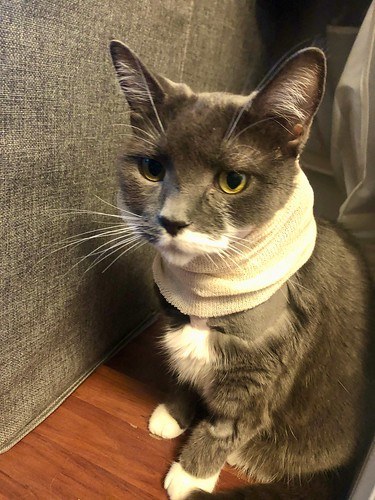 "Crick has a fancy ""scarf"" to prevent her from scratching her surgical wound"