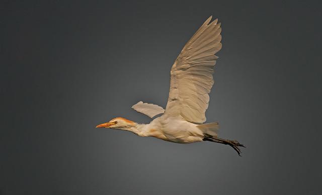 Western Cattle Egret: Bubulcus ibis