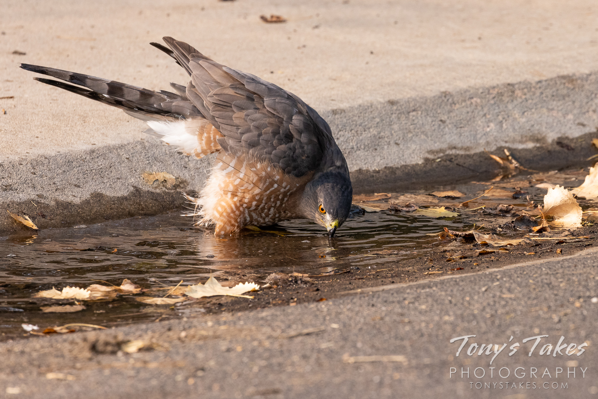 Cooper's hawk takes a bath in the street