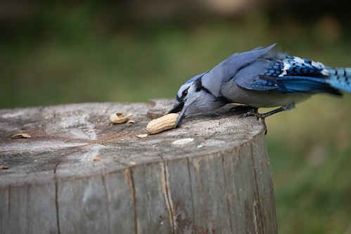 My personal friendly Blue Jay getting a payoff
