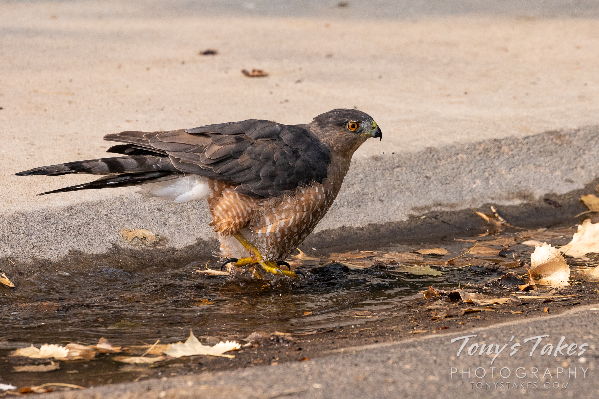 A Cooper's hawk bathes in water in a gutter. (© Tony's Takes)
