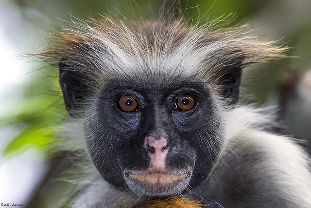 Zanzibar Red Colobus Monkey - Piliocolobus kirkii