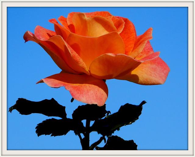 Róża * EXPLORE