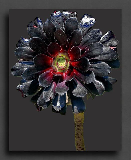 Black Rose Aeonium Arboreum