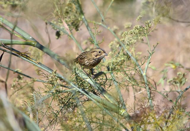 Lincoln's Sparrow at Hayward Shoreline