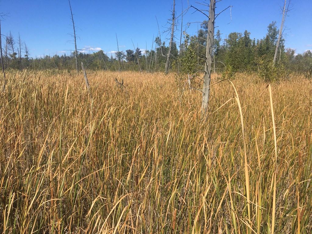 Valens Lake: Tall Marsh Grasses