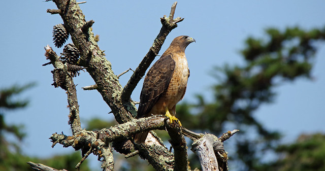 Red-tailed Hawk (Stowe Lake, SF)