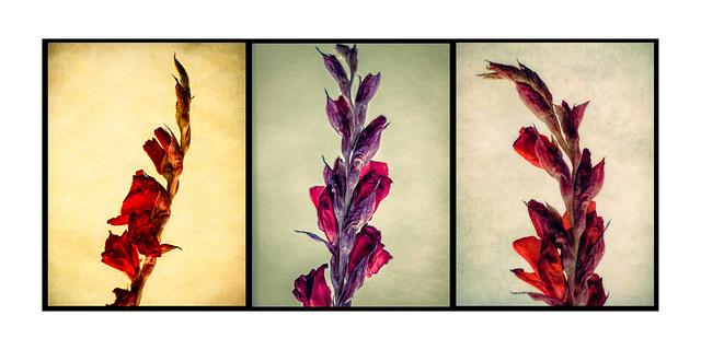 Gladioli triptych