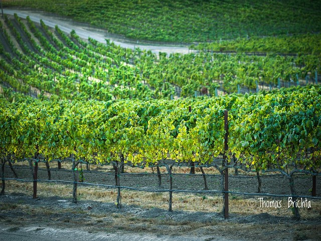 Fall comes to the Vineyards. Grapes have been harvested and the leaves are starting to turn.