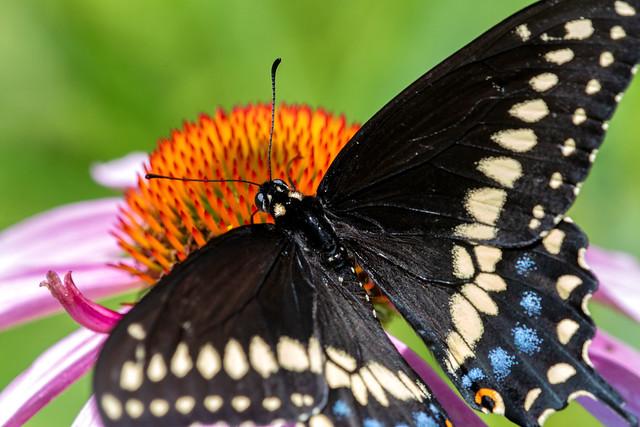 2018 Eastern Black Swallowtail (Papilio polyxenes) 17