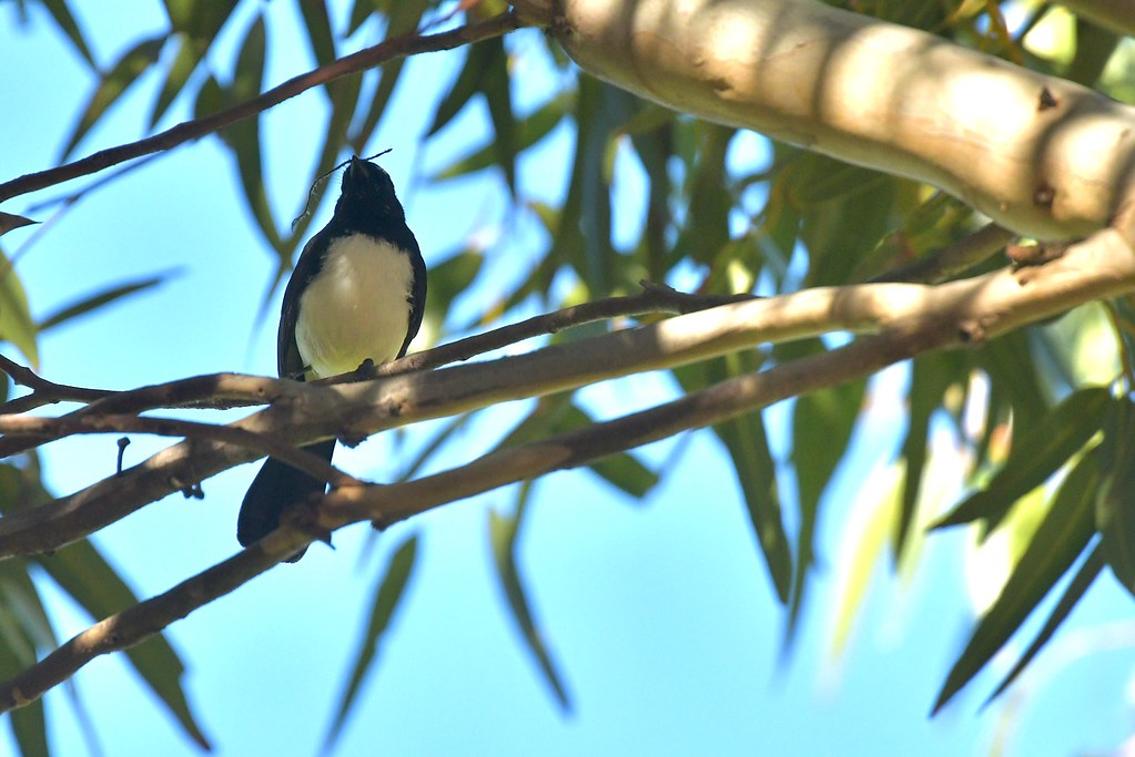 Willie Wagtail ( another new home in the making )