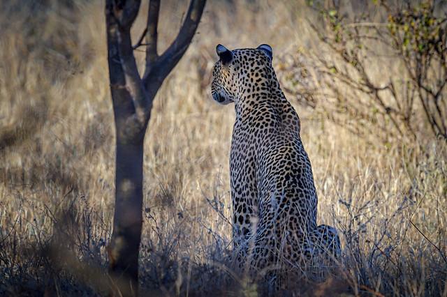 Leopard resting in the shade of an acacia tree in Samburu National Reserve, Kenya, East Africa