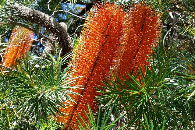 268/366 Orange Banksia