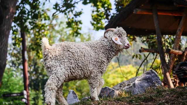 Mouton - 8889