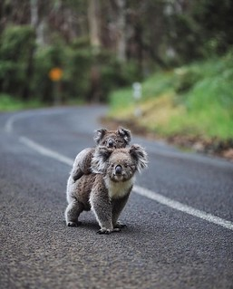 Funny Hitchhiking Animal Koala Kid