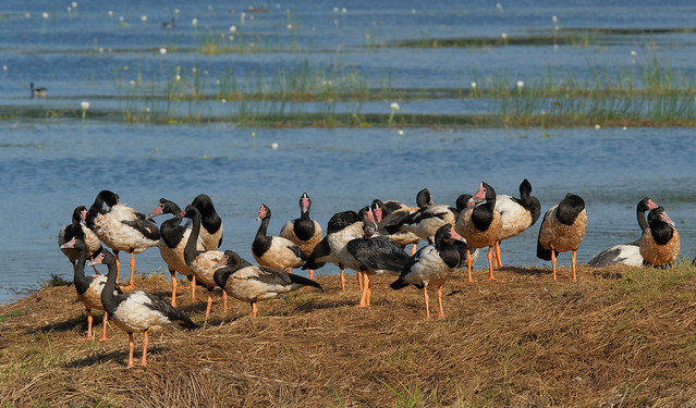 The gathering  part 2 - Magpie Geese - McMinns Lagoon Reserve, Darwin Rural Area, Northern Territory, Australia