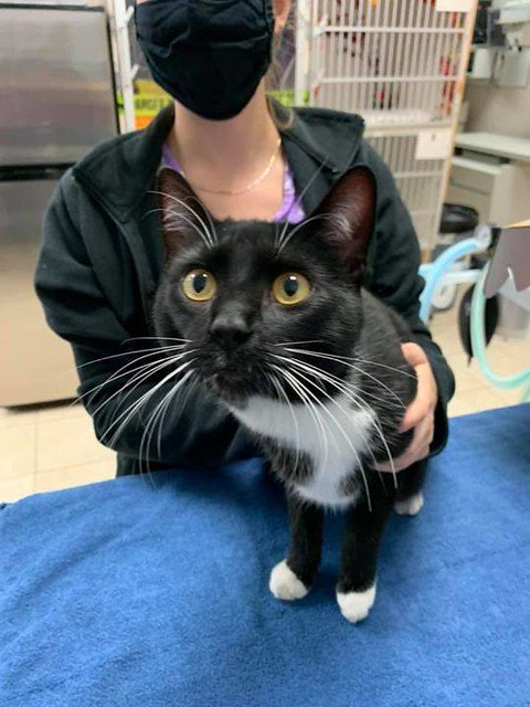 FOUND dsh black & white cat in #HarvestHills. Now at Clgy Animal Services, 2201 Portland Street S.E. Call 311 for more information: https://bit.ly/2I4Vc9R Found cat- found in Harvest Hills. Located now at the Panorama Hills Animal Hospital 403-277-9111 Fo