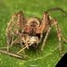 Araña fantasma hembra (Anyphaenidae) depredando sobre un zancudo