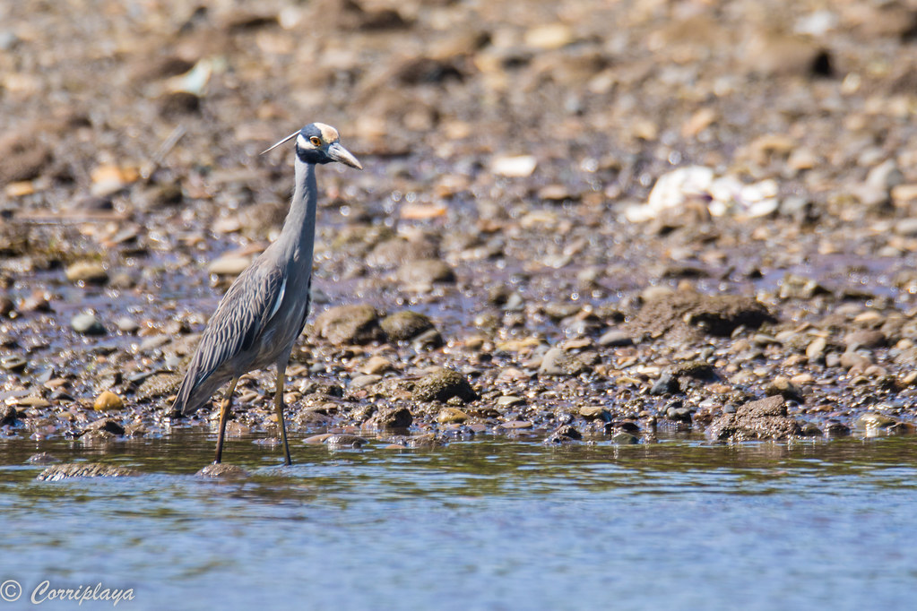 Martinete coronado, yellow-crowned night-heron, Nyctanassa violacea