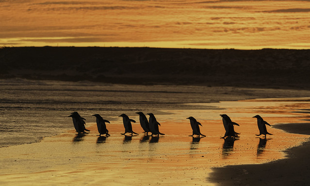 King Penguins Leaving their Colony Early Morning at Volunteer Point, East Falkland - Falklands 77
