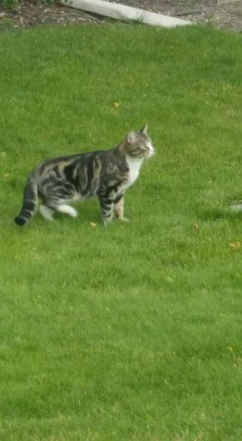 SIGHTING 2 cats - one DSH tabby & white cat and one DMH grey cat in #PanoramaHills NW. Pls rt, share, watch, help kitties get home. Photos from David Hofmann's postvpdescription by Photos from David Hofmann's post SIGHTING 2 cats - one DSH tabby & white c
