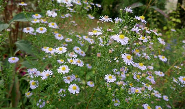 Au jardin, les fleurs de l'automne, asters de Nouvelle-Angleterre (Symphyotrichum novae-angliae), Bosdarros, Béarn, Pyrénées Atlantiques, Nouvelle-Aquitaine, France.