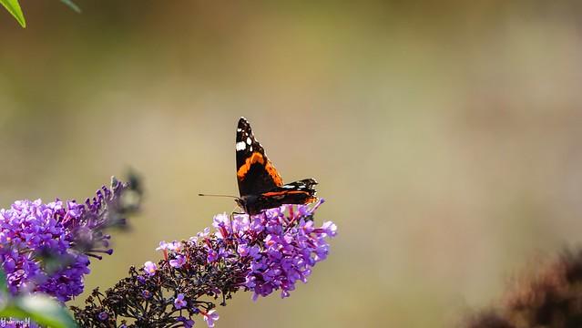 #Butterfly - 8891
