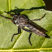 Gemeine Raubfliege (Tolmerus atricapillus) (1)