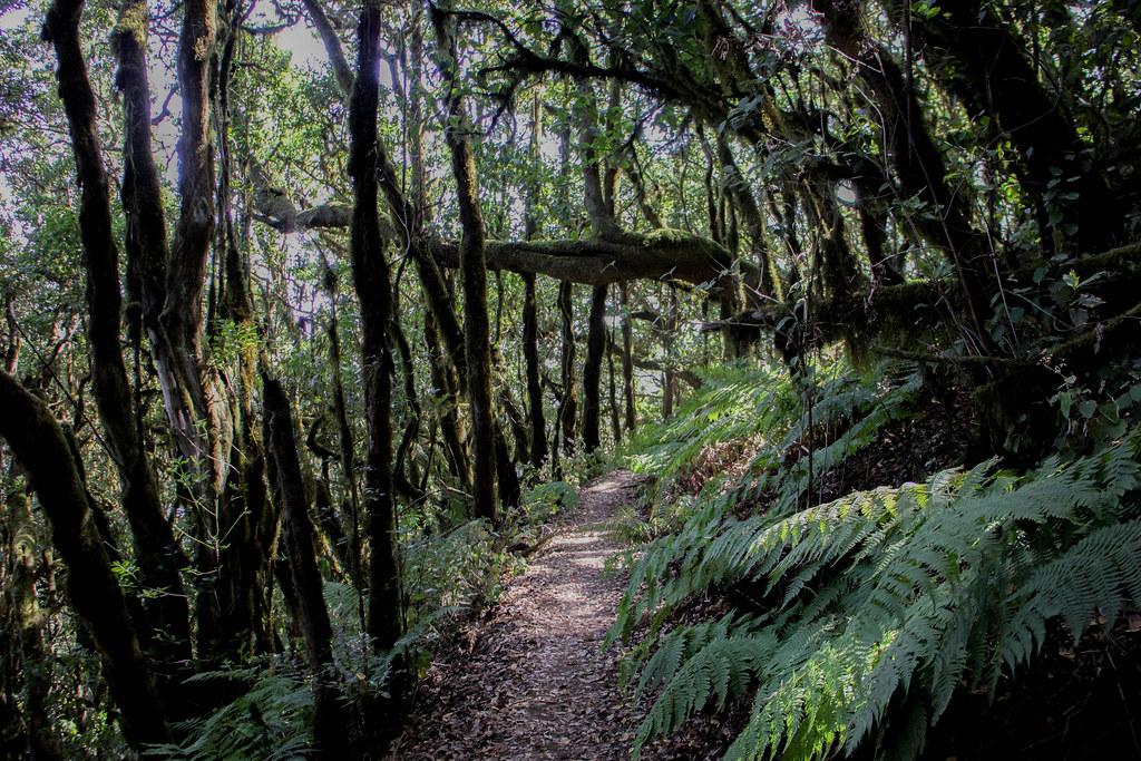 Bosque de Laurisilva de Raso de Brumas en La Gomera
