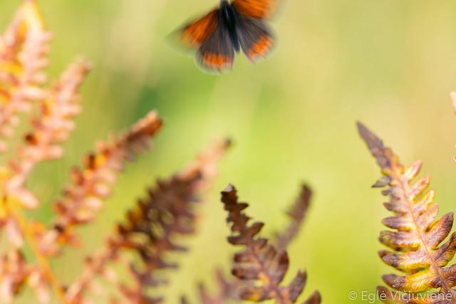 Lycaena phlaeas - Small copper / Mažasis auksinukas