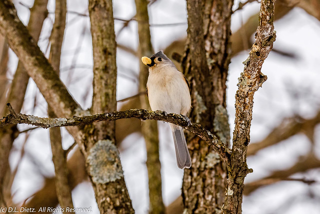Tufted Titmouse #1 - 2020-02-16