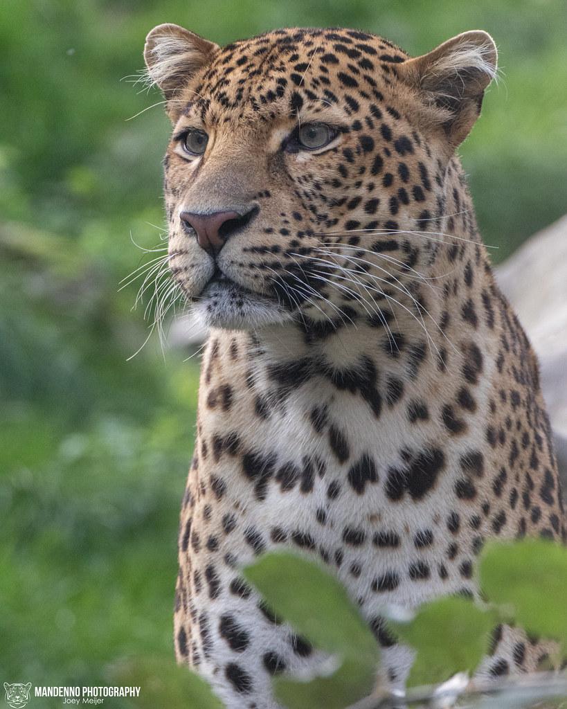 Javan Leopard - Pairi Daiza - Belgium