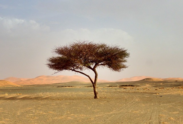 Lone tree on the way to Erg Chebbi, Morocco  (EXPLORED)