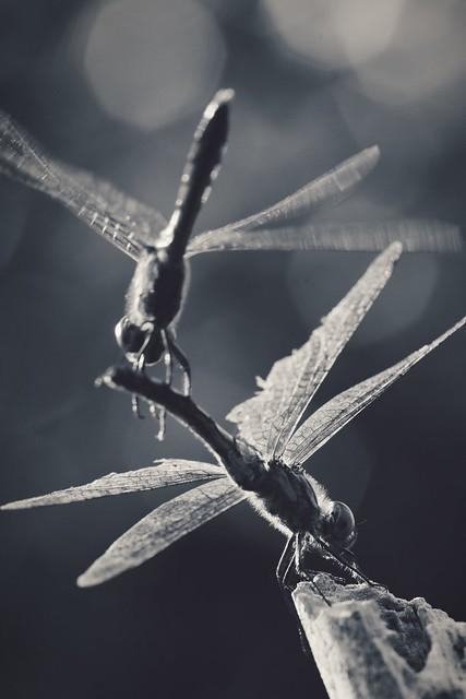 Dragonflies at Odds 七飯町〜大沼公園