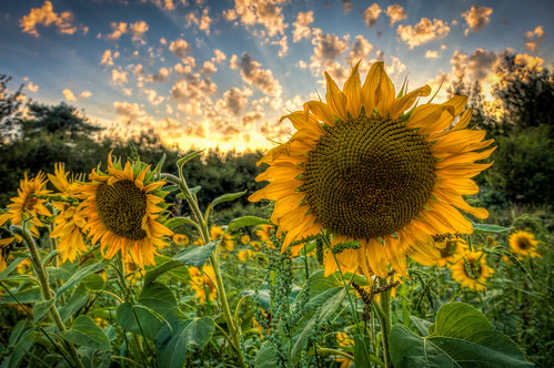 thurnham summer flowers maidstone sunset sonyrx100m3 hdr sunflower kent bokeh northdowns england clouds