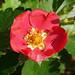 Omroep Zeeland posted a photo:Door Cathie Hart, 'S-Heer AbtskerkeBloesem van een aardbeienplant.