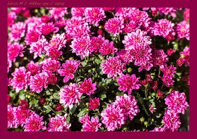 Chrysanthemen-#-L2000436-#-Leica-M-Nikon-Nikkor-105----2020