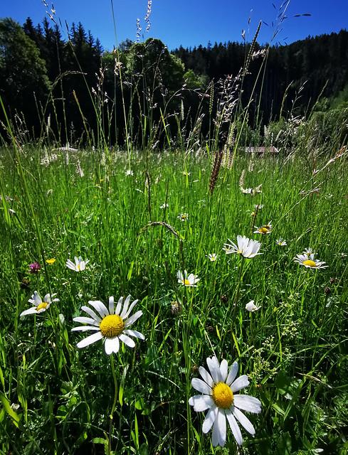 Leucanthemum Oxeye Daisy Wild Flower Nature Field Pasture Bavaria Germany © Margerite Wildblume Natur Feld Wiese Bayern Oberbayern ©