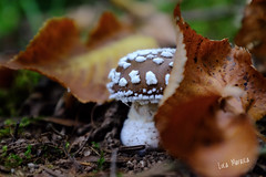 Piccola Amanita pantherina