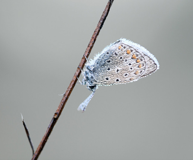 Polyommatus icarus-Icarusblauwtje-Common Blue