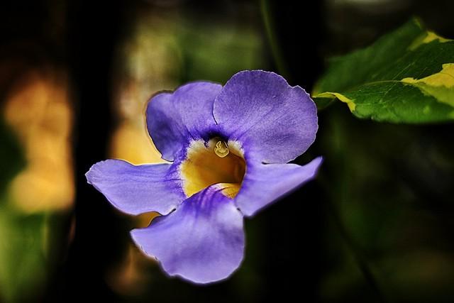 """""""Bengal Clockvine ('Thunbergia grandiflora')"""""""