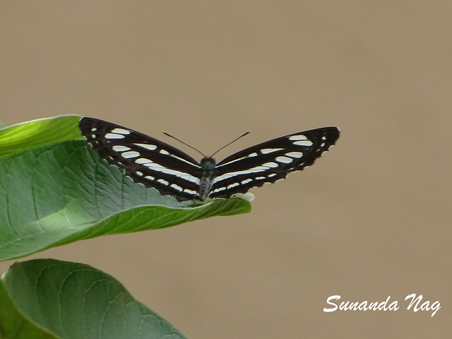 Common sailor butterfly-1