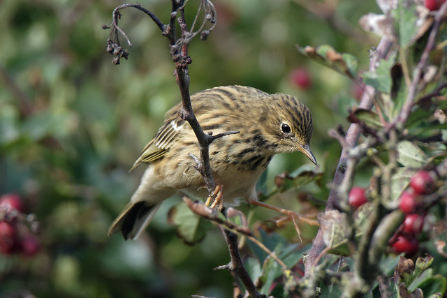 Meadow Pipit Annagassan