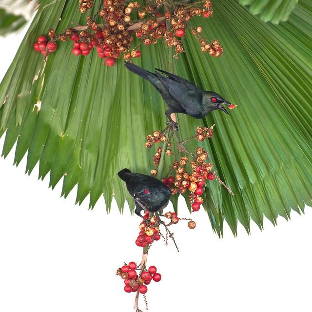 Asian Glossy Starling - Aplonis panayensis