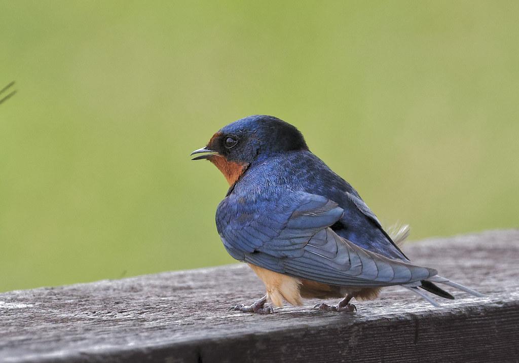 Barn Swallow-9515