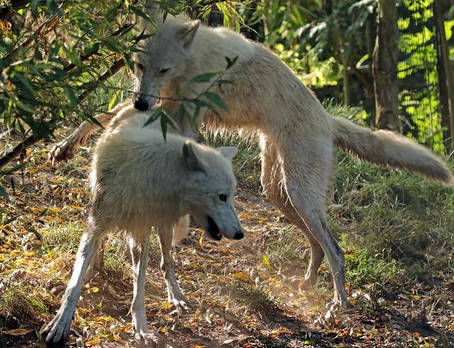 hudsonbay wolf artis 094A0836