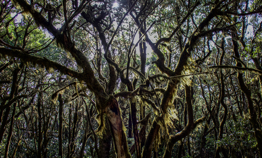 Juego de luces entre árboles de Laurisilva