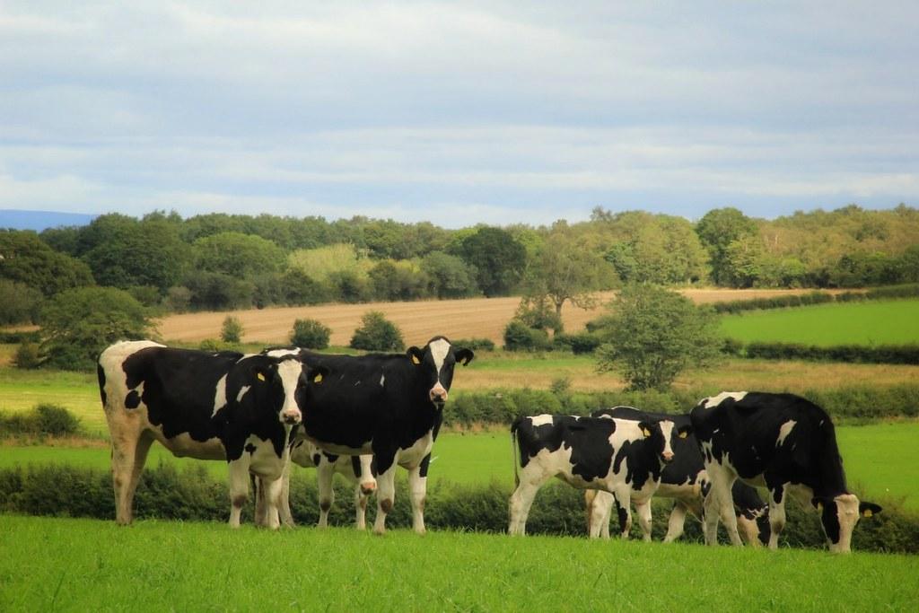 Cows in fields, Hadrian's Wall